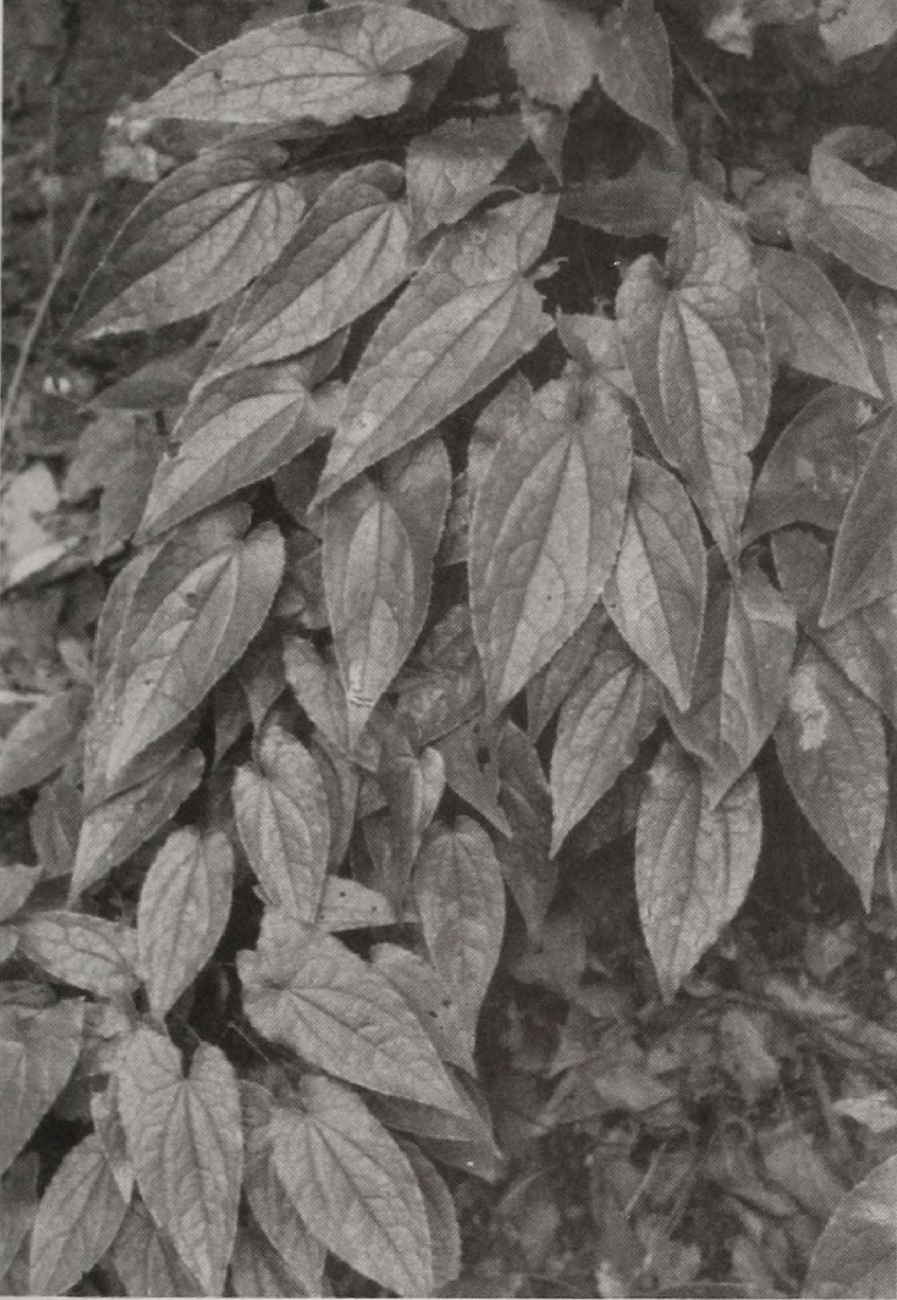 Black-and-white photograph of epimedium leaves