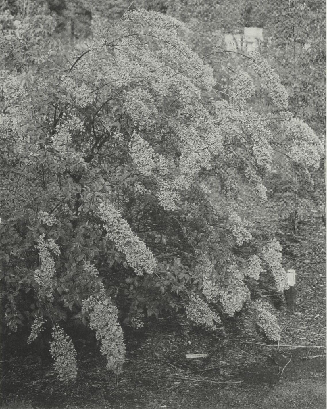 Black-and-white photograph of lilac shrub