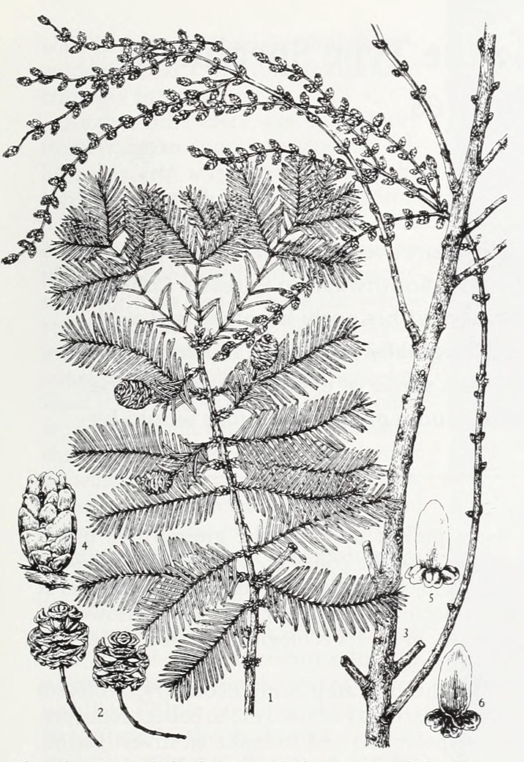 Botanical illustration of dawn redwood