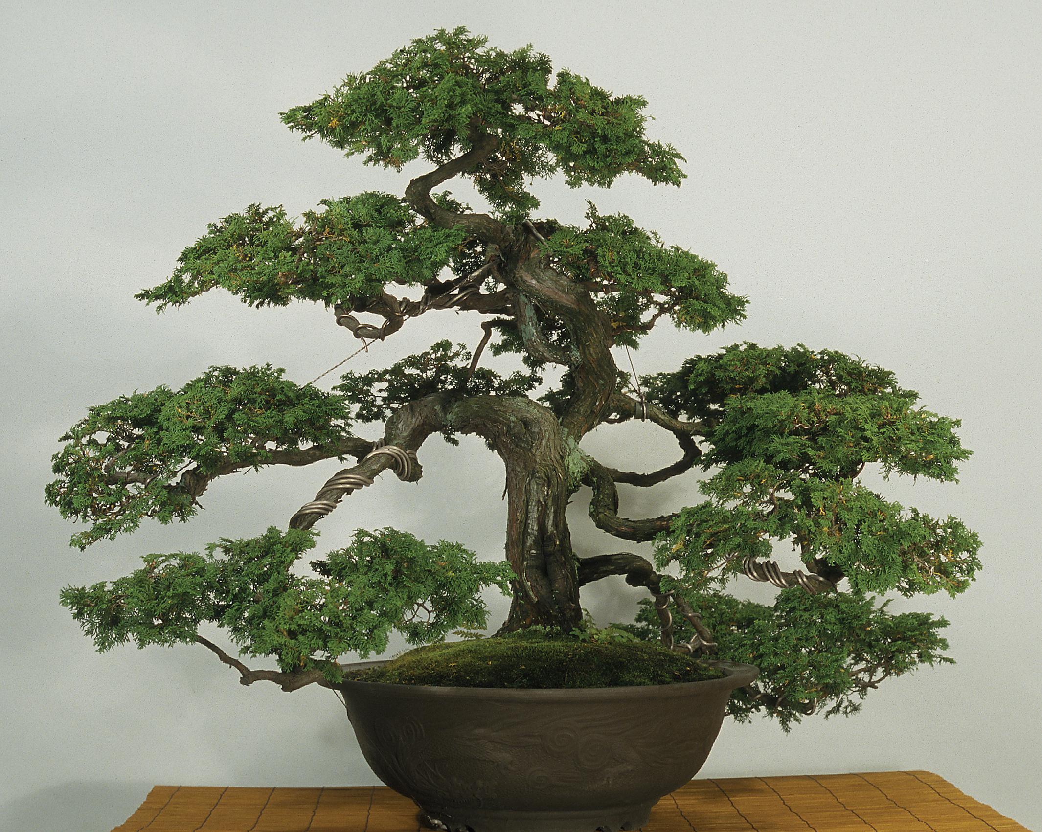 Color photograph of large bonsai