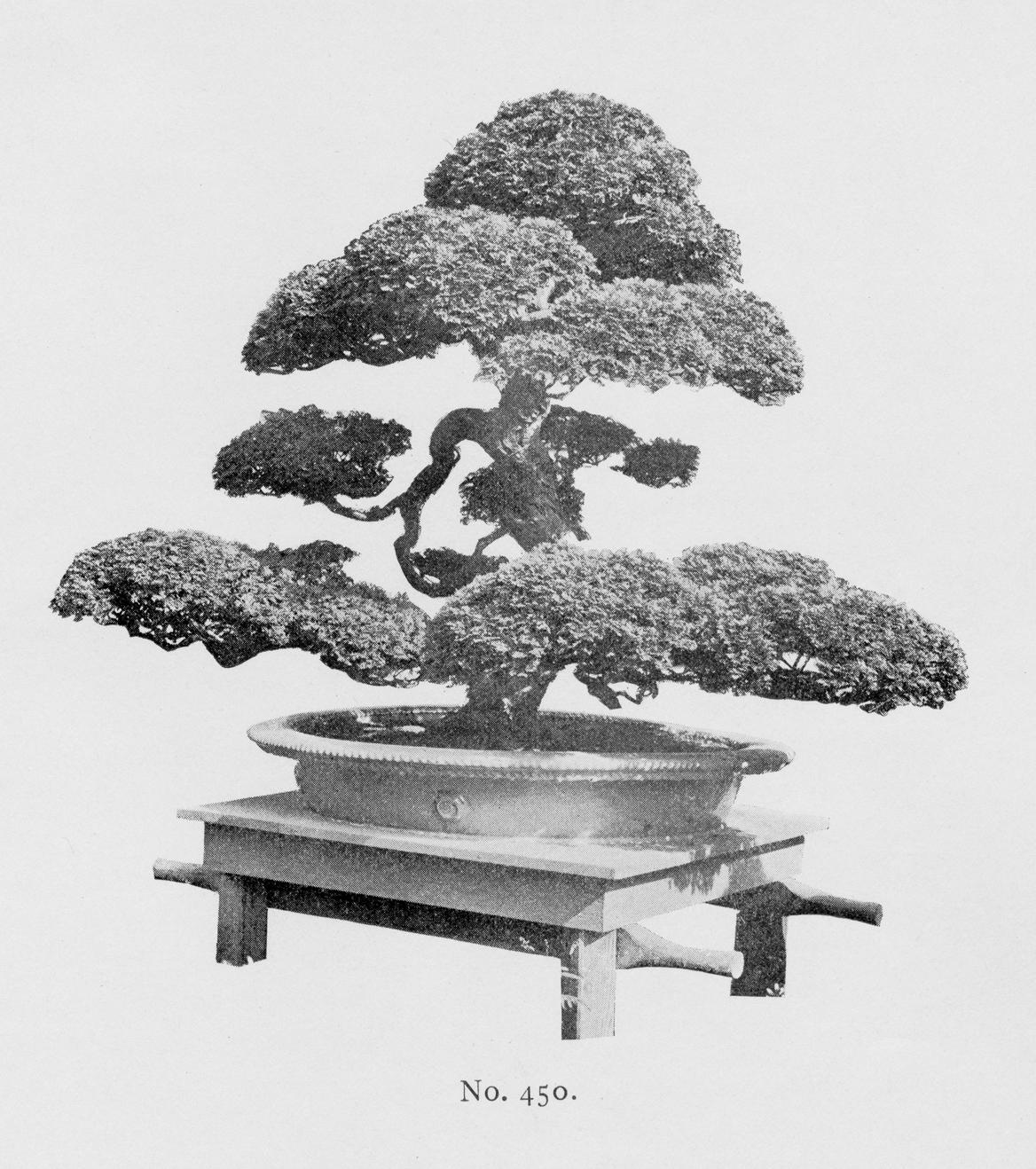 Black-and-white illustrationof large bonsai