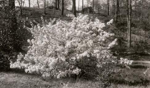 A sepia-tone photo of Malus floribunda on Peters Hill.