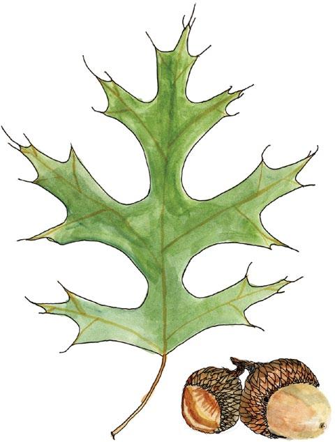 A drawing of a Hill's oak leaf and acorns.