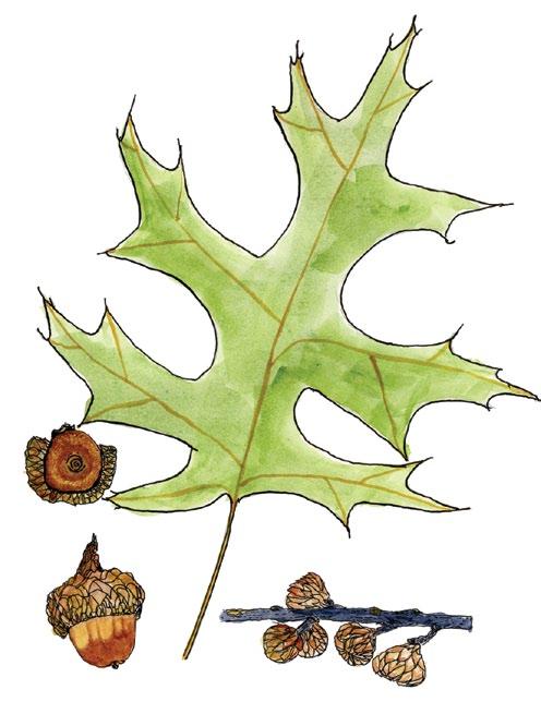 A drawing of a scarlet oak leaf and acorns.
