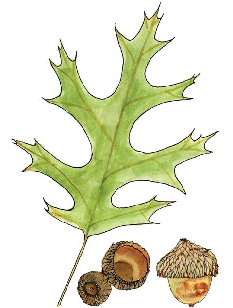 A drawing of a black oak leaf and acorns.