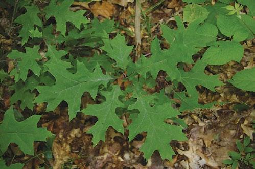A color photo of a scarlet oak seedling.