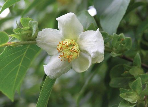 Blossom of Chinese stewartia