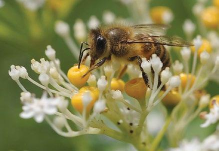 A color photo of an Asian honey bee (Apis cerana) feeding from Chinese elderberry (Sambucus chinensis).