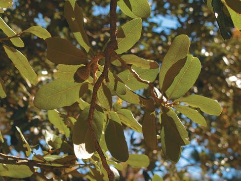 Foliage of live oak