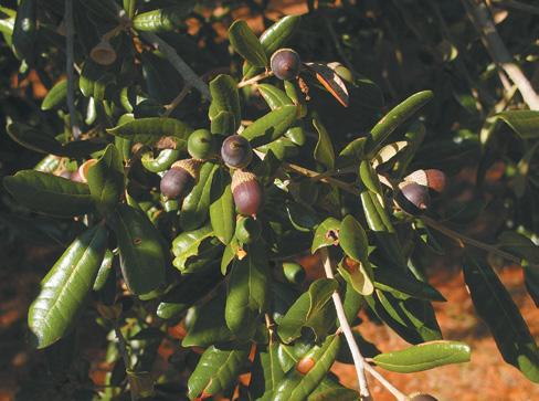 Acorns and foliage of live oak