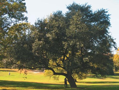 Photo of collector standing beside open-grown live oak
