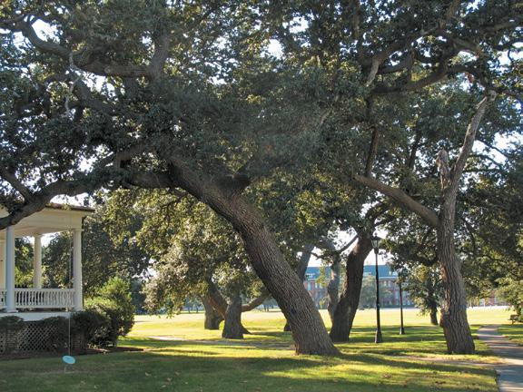 Group of live oaks growing in open park-like setting