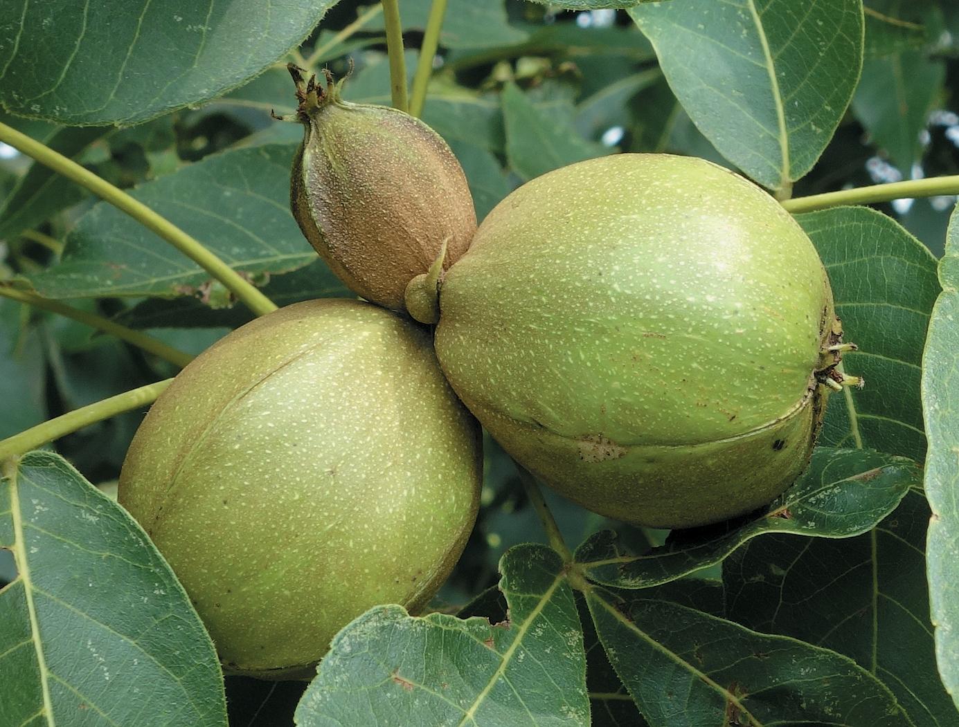 Hickory fruit against green leaves