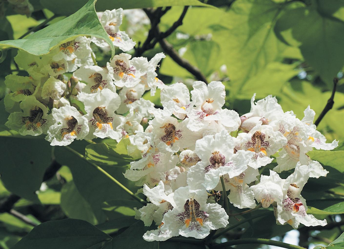 Photo of catalpa flowers