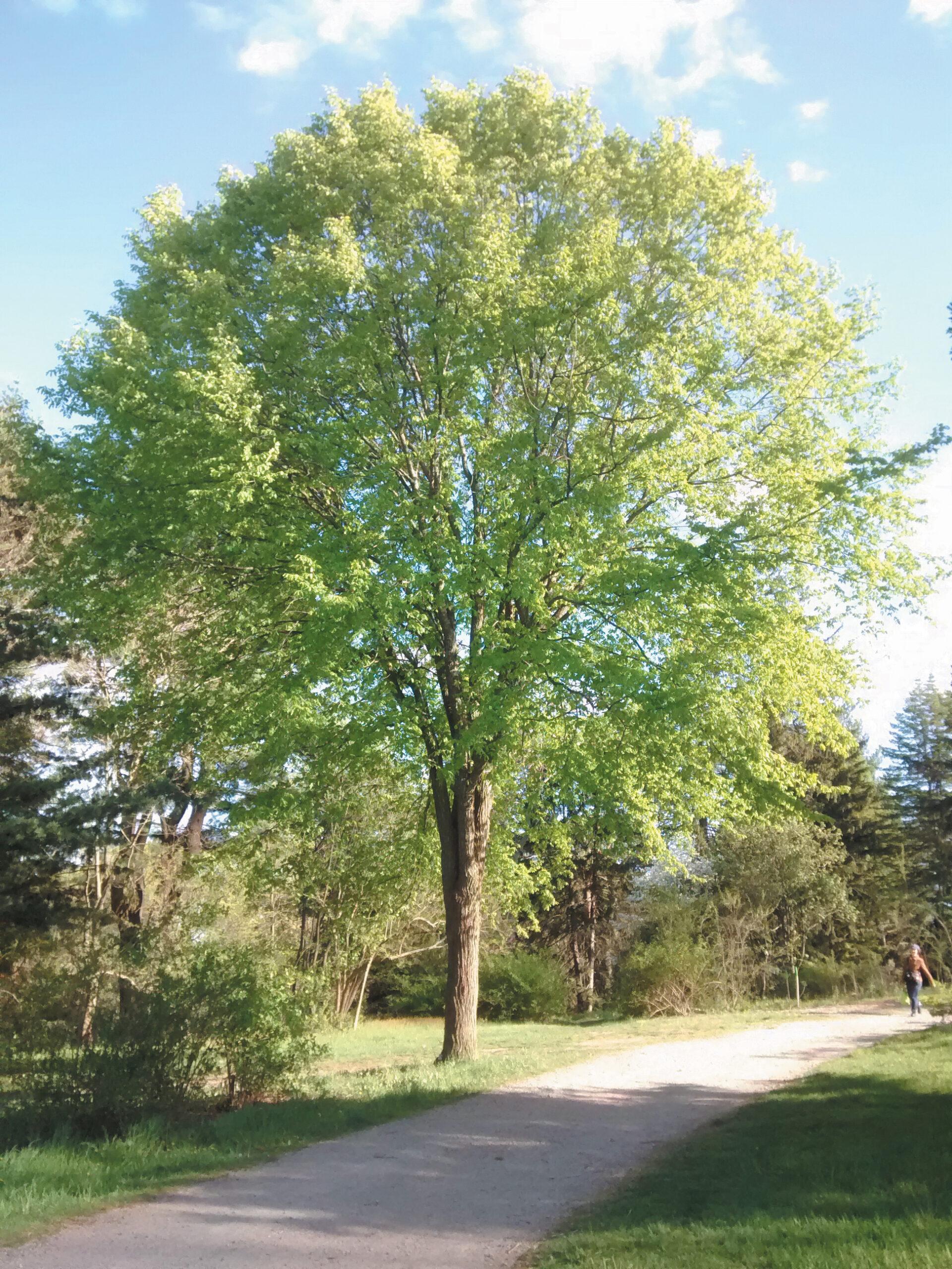 A color photo of a rock elm.