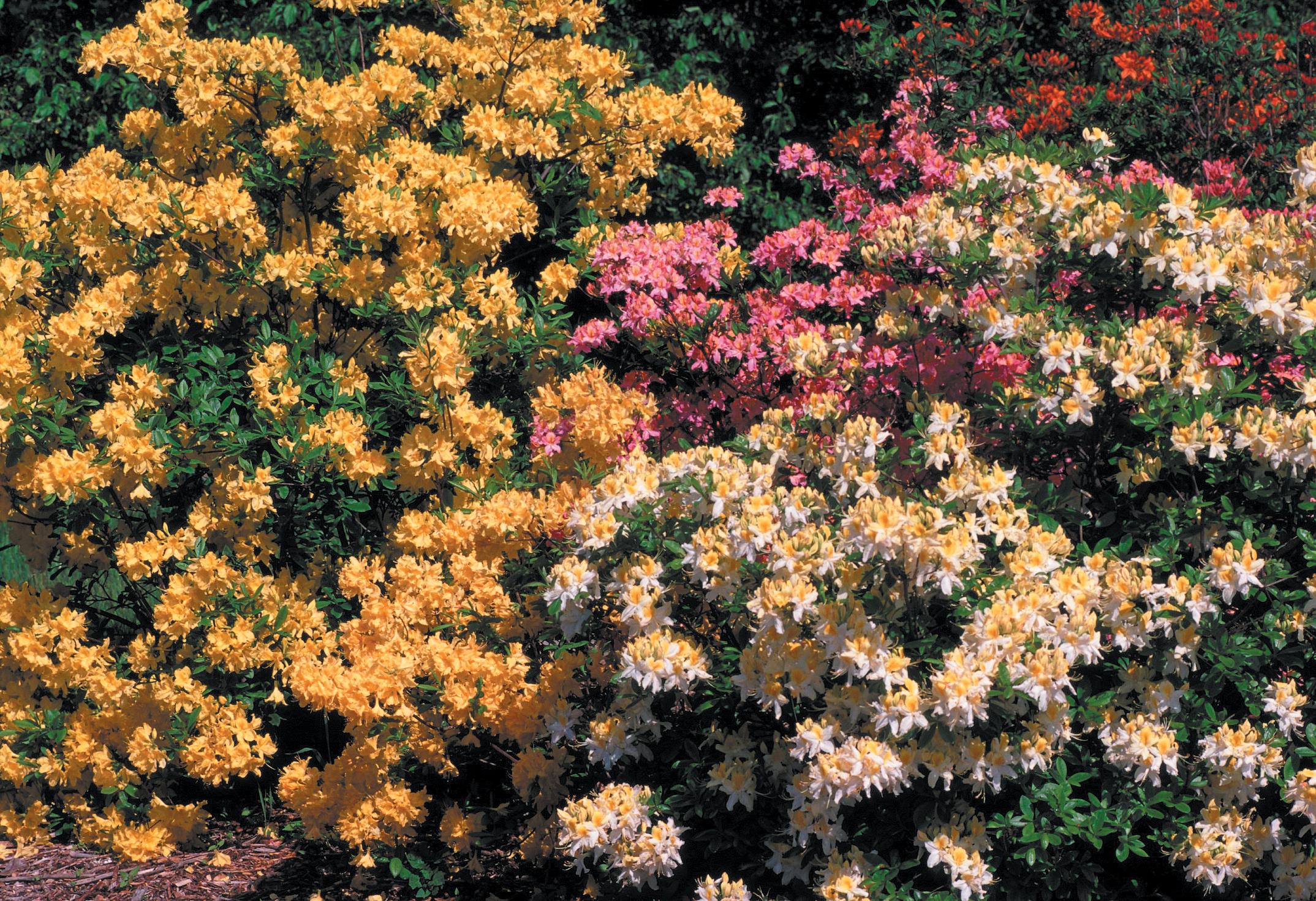 A color photo of azalea bed.