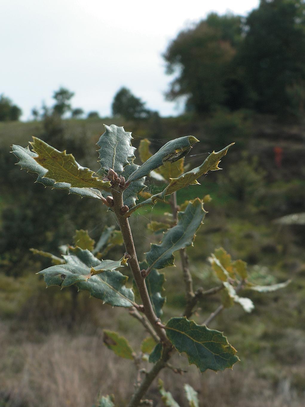 A color photo of Quercus cornelius-mulleri.