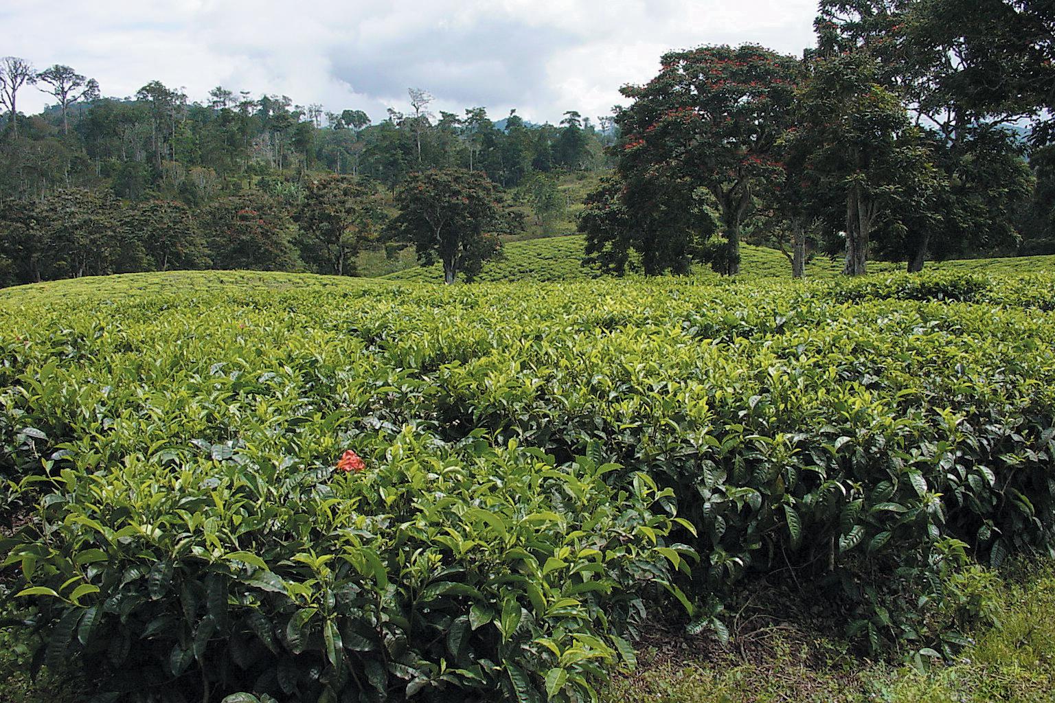 A color photo of a tea plantation in Tanzania