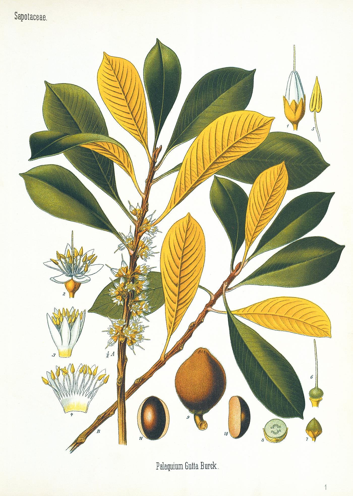 A color illustration of the gutta-percha tree.