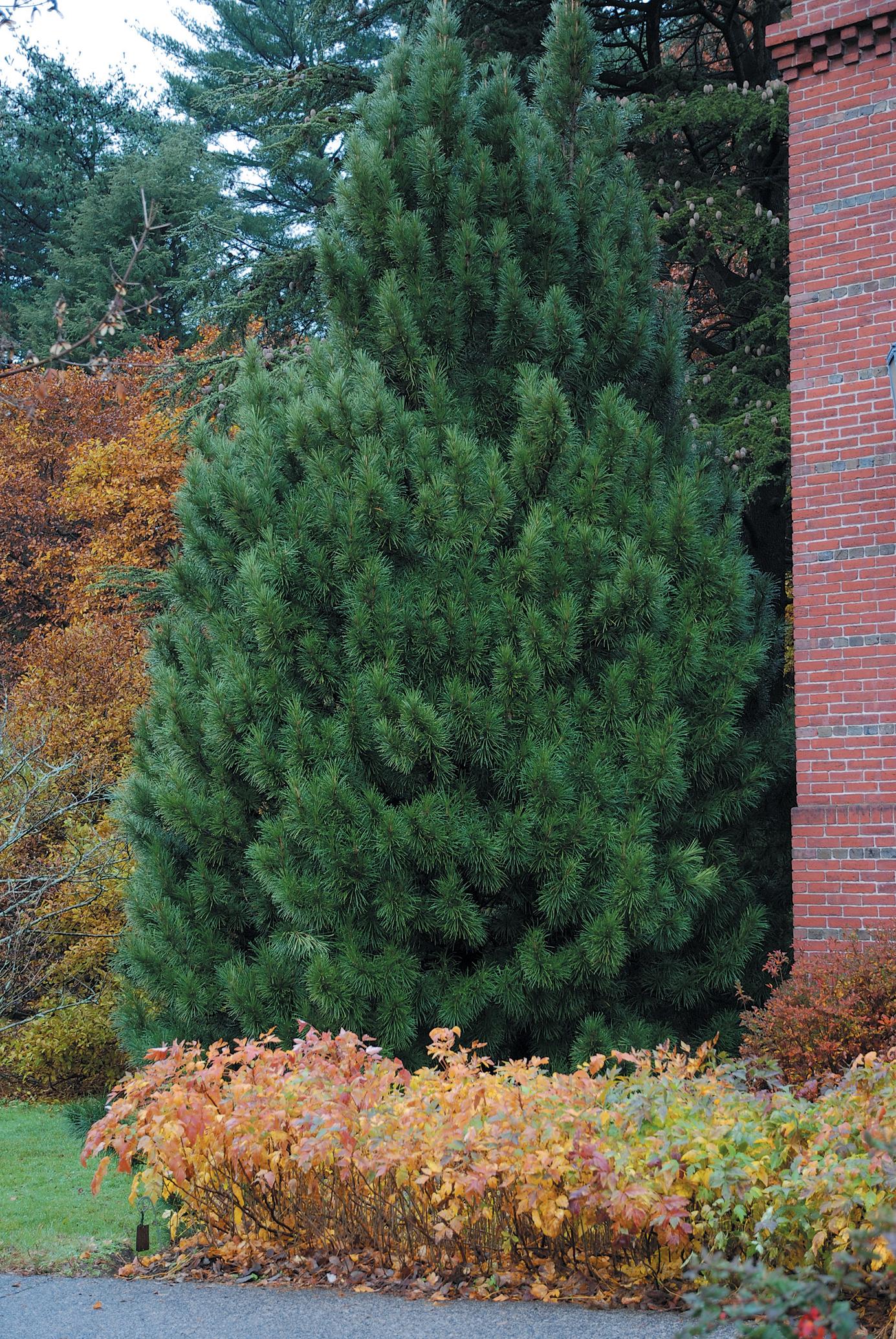 A color photo of Japanese umbrella pine.