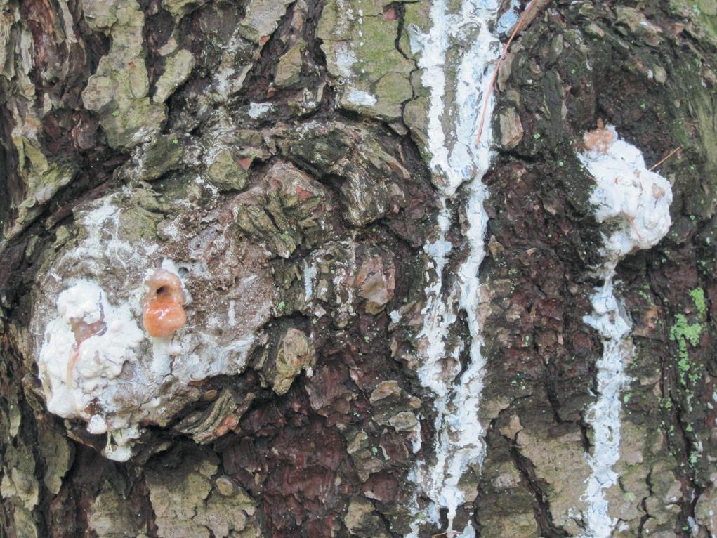 A close-up color photo of sap on a conifer.