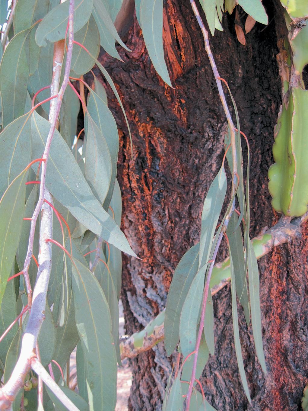 A color photo of Eucalyptus sideroxylon.