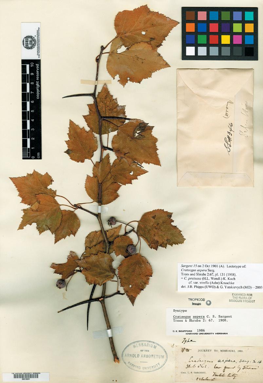 Photograph of herbarium specimen