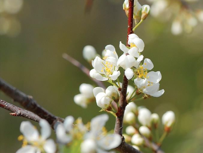 A color photo of Prunus americana.