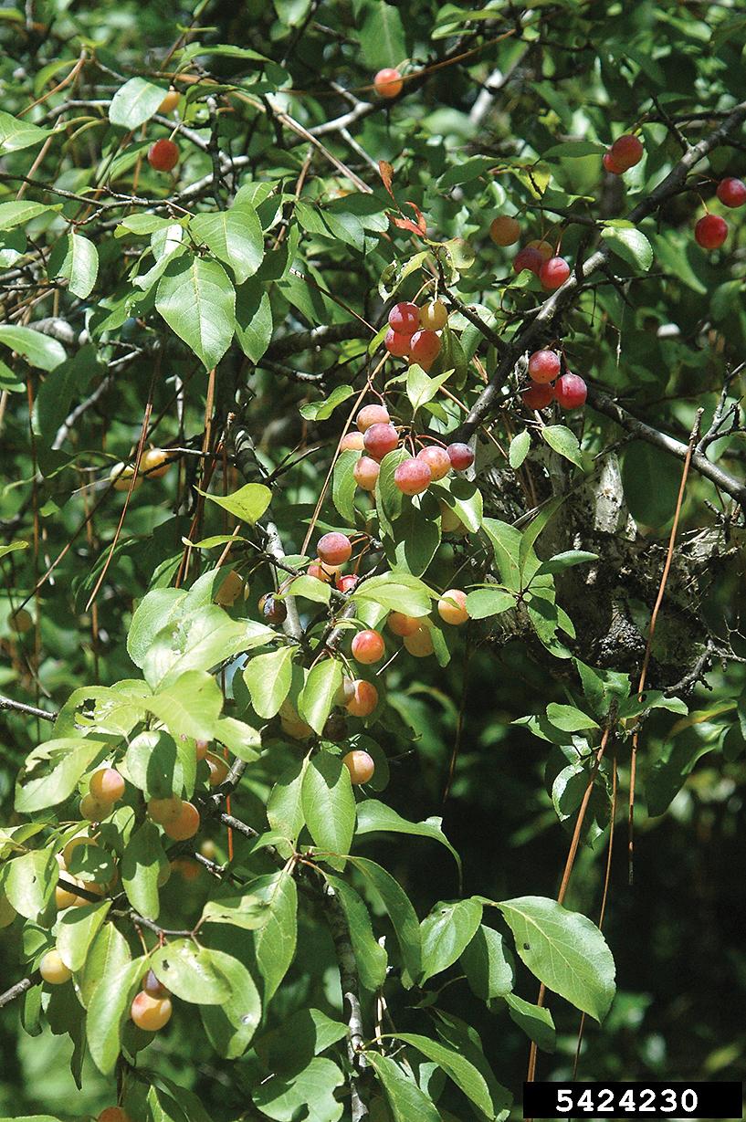 A color photo of Prunus angustifolia.