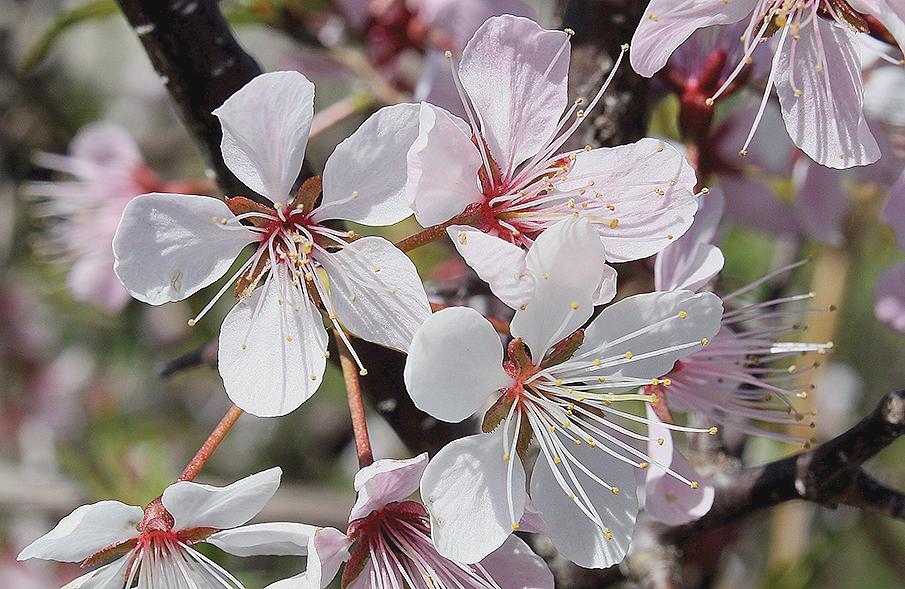 A color photo of Prunus nigra.