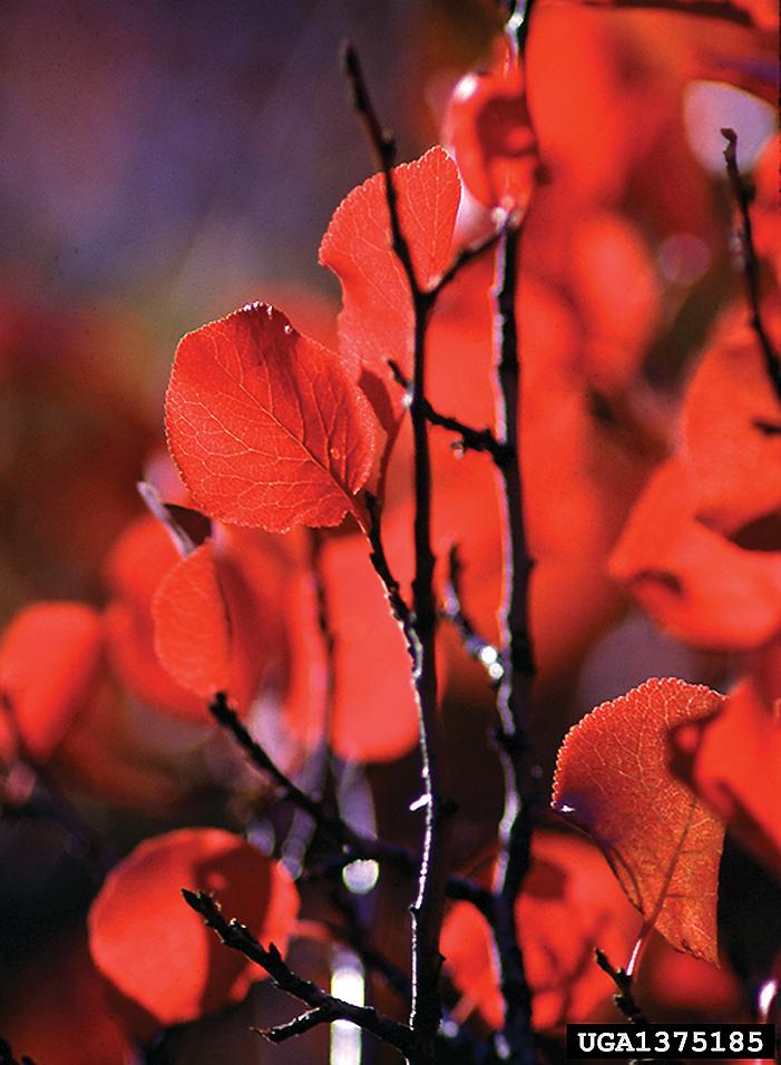 A color photo of Prunus subcordata.