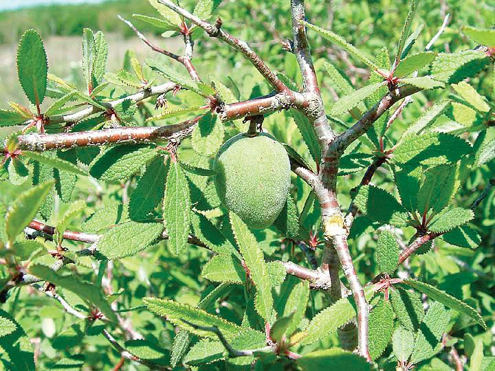 A color photo of Prunus texana.