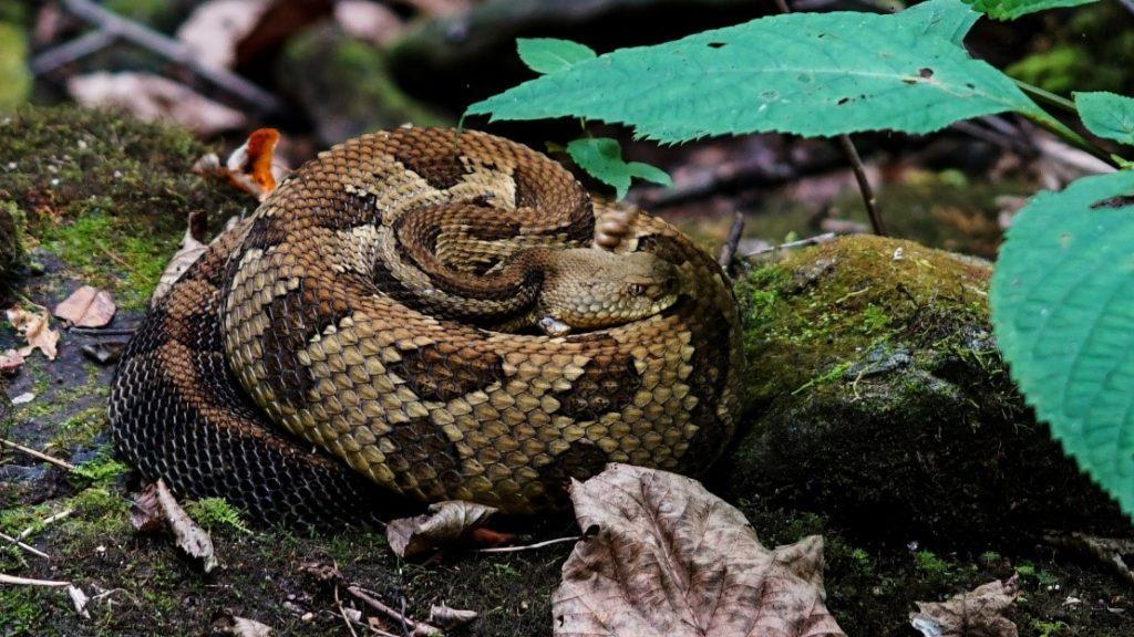 rattlesnake at Nantahala National Forest