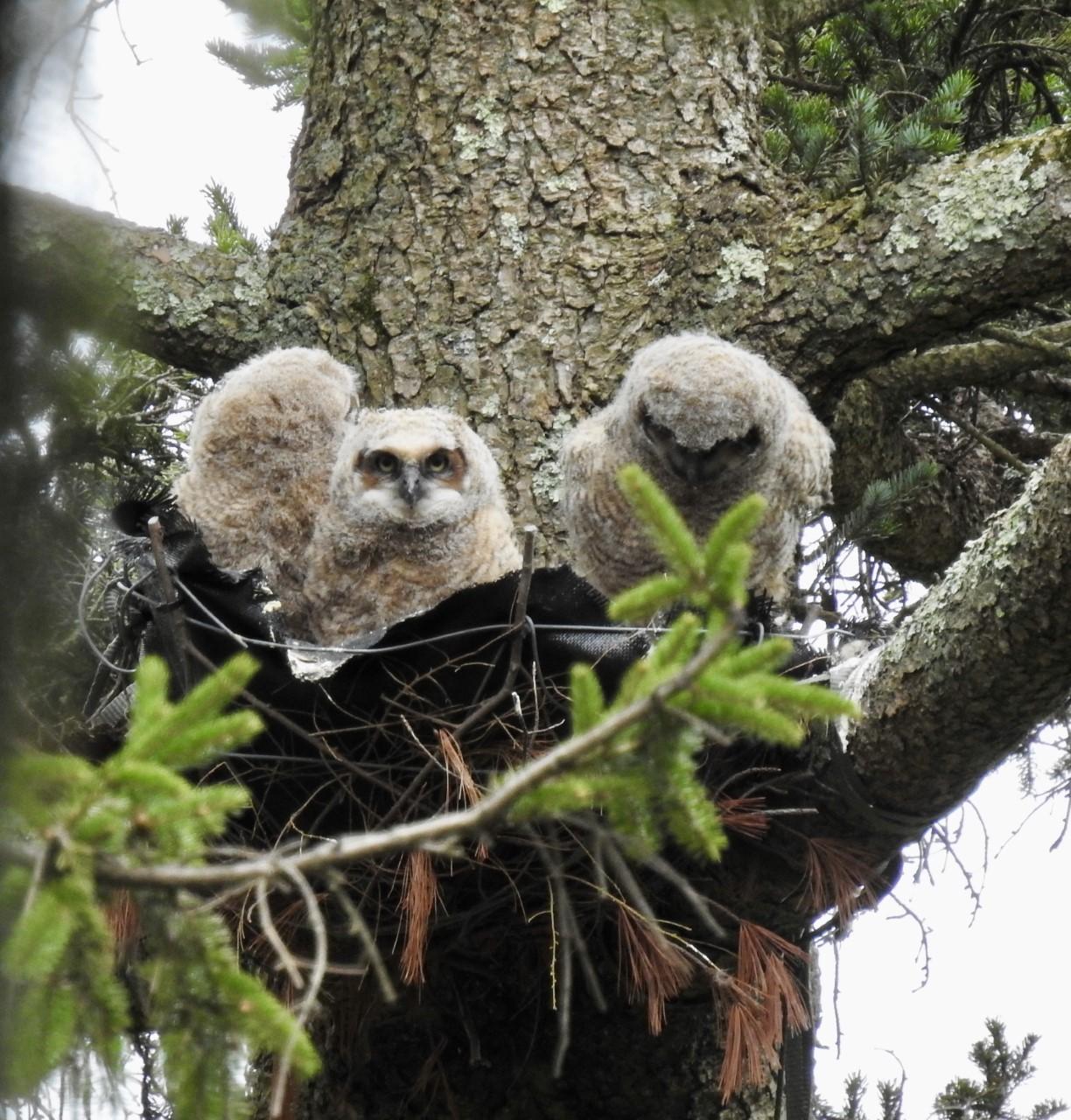 Five week old owlets