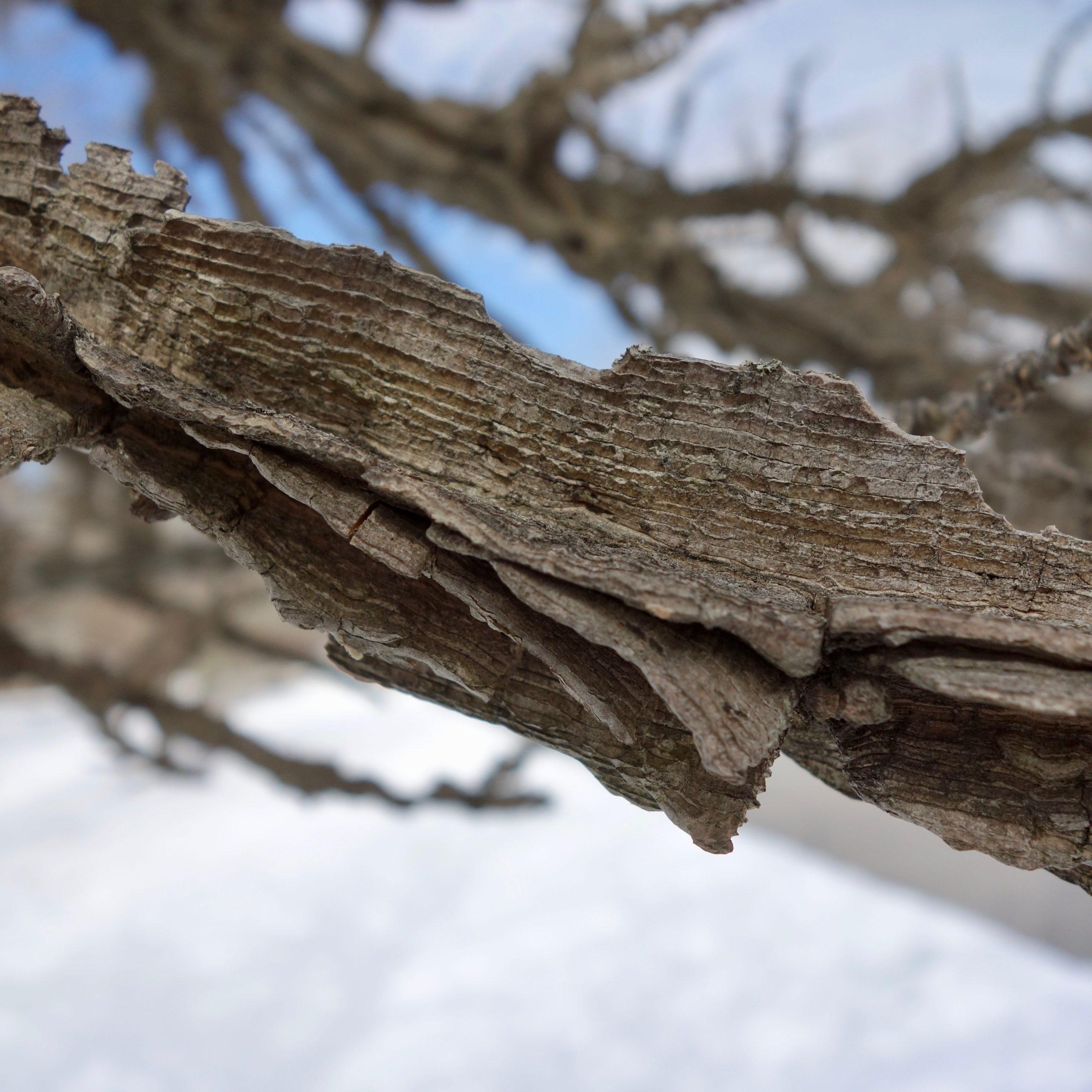 """独特的""""有翼""""树皮以及隆起的脊。"""