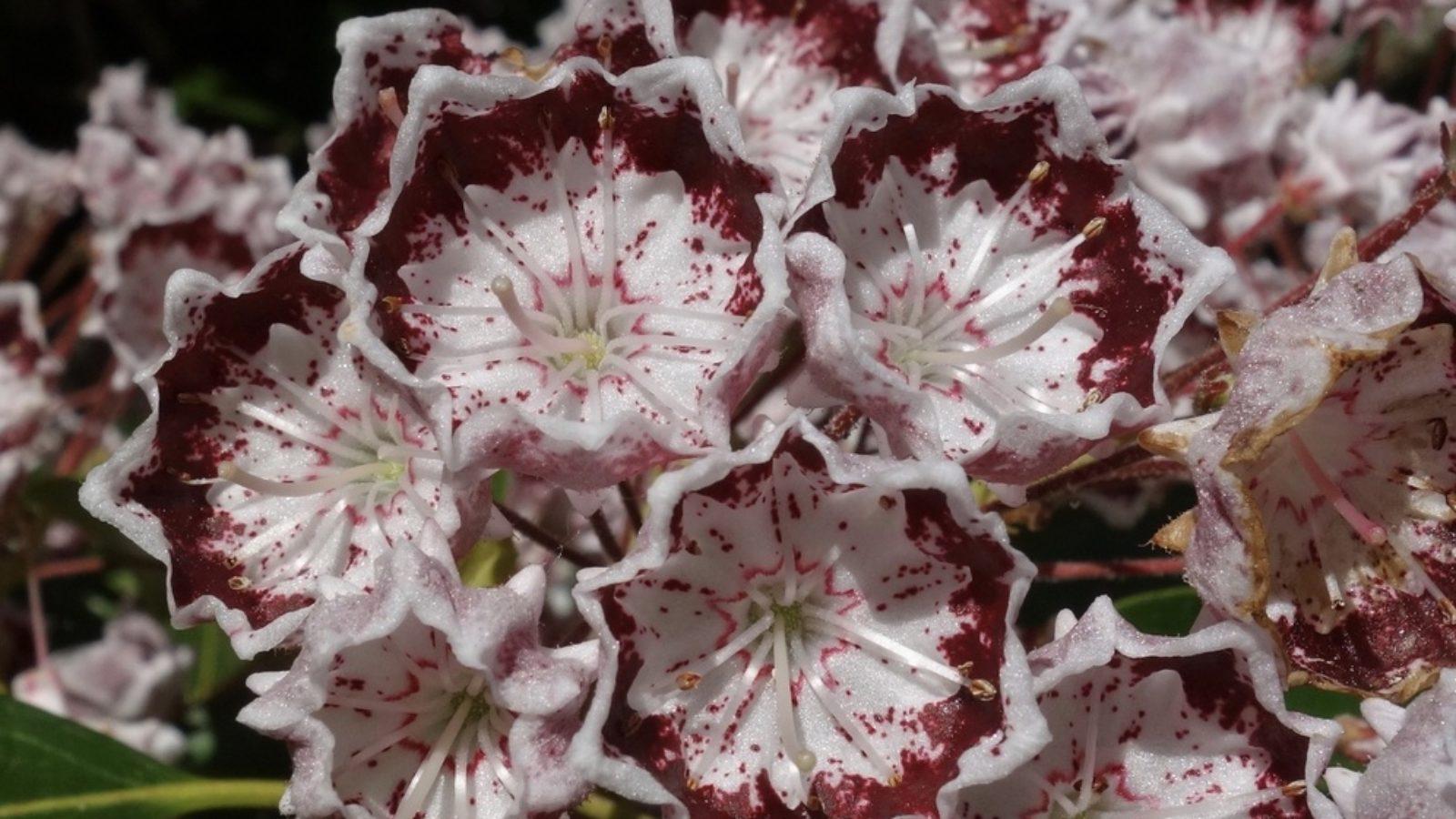 Banded Mountain Laurel (Kalmia latifolia 'Fuscata')