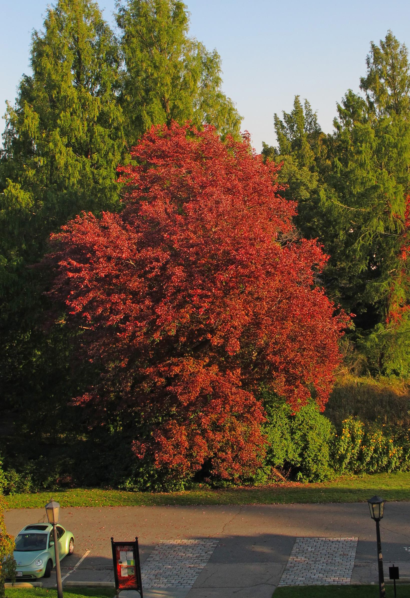 schlesinger red maple