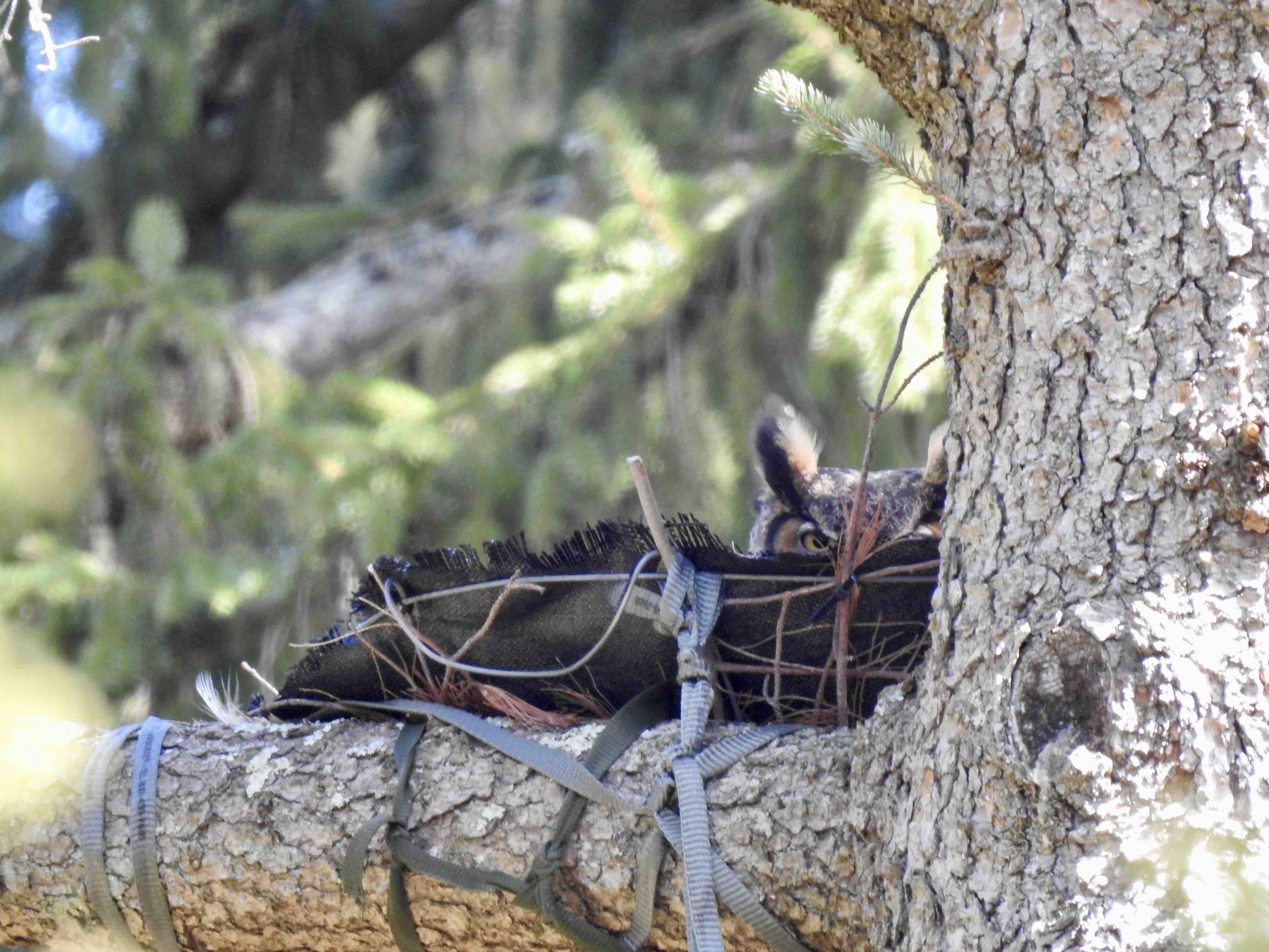 Female great horned owl in nest.