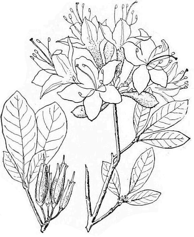 Flame azalea illustration