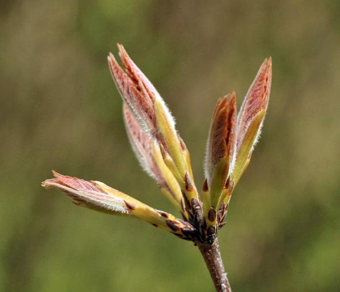 Emerging leaves of paperbark maple (Acer griseum)
