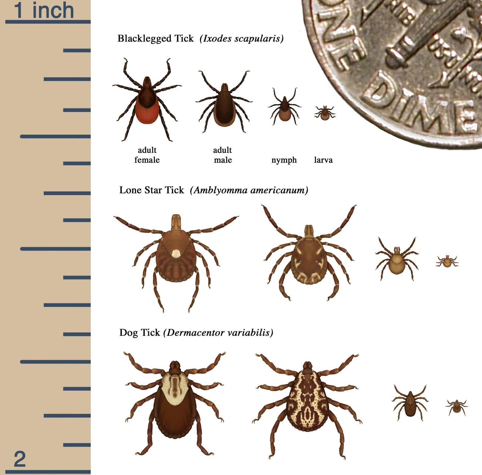 Diagram with tick species
