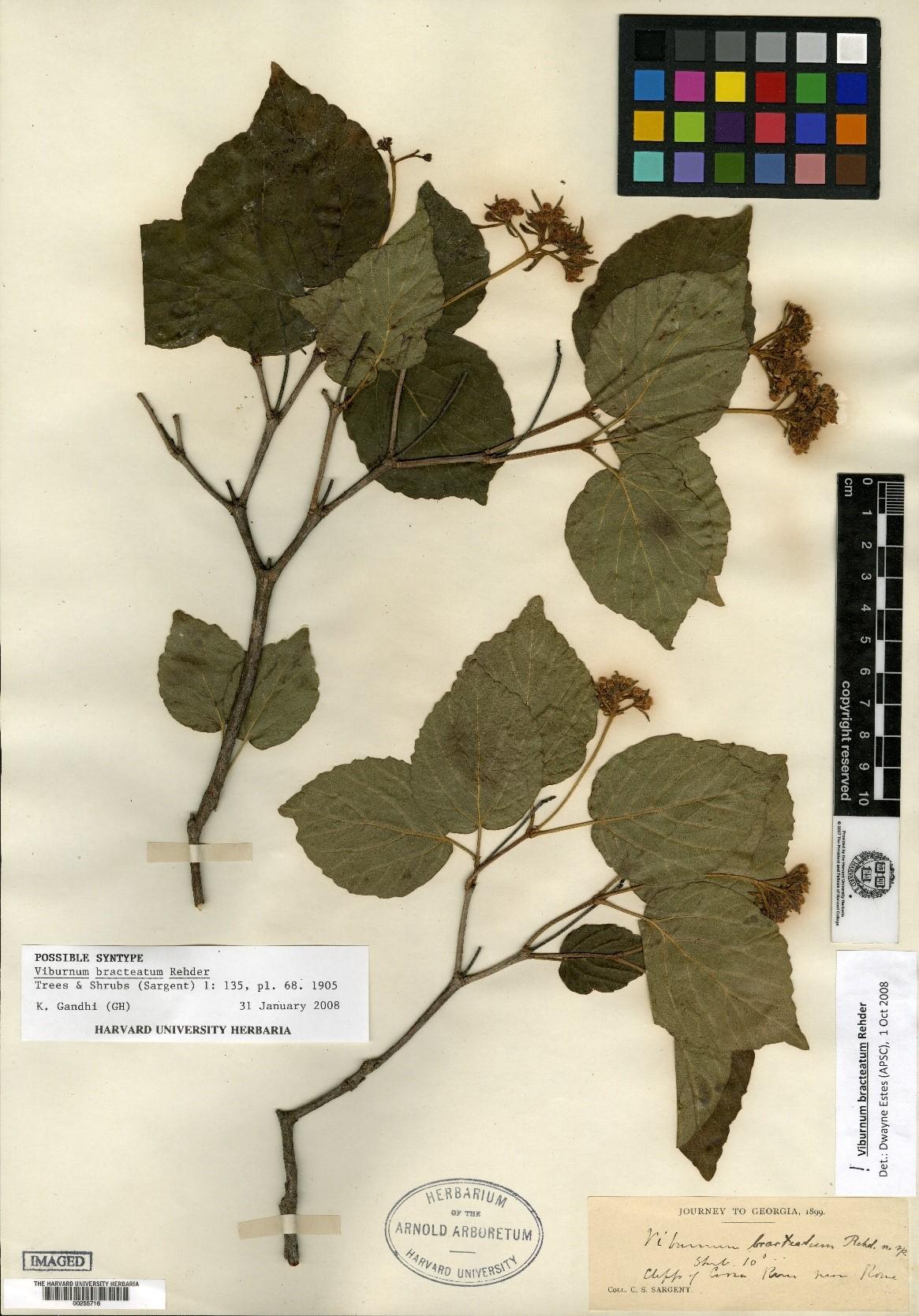 vibrunum-brachteatum-Sargent