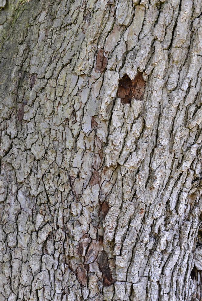 Light-gray, plated bark.
