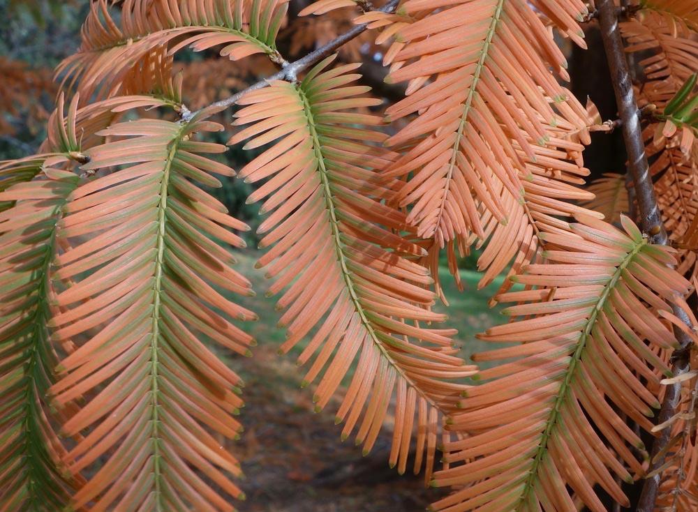 Dawn Redwood autumn leaf color