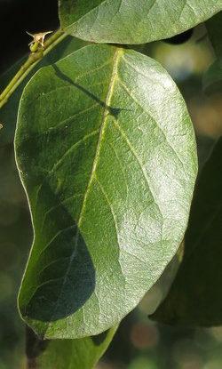 Ovate simple leaf.