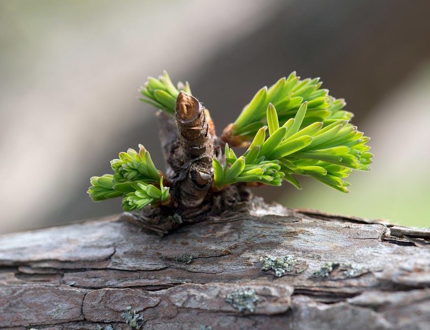 Emerging foliage of Dawn Redwood