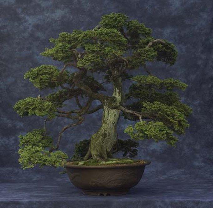 Conifer Bonsi in a pot