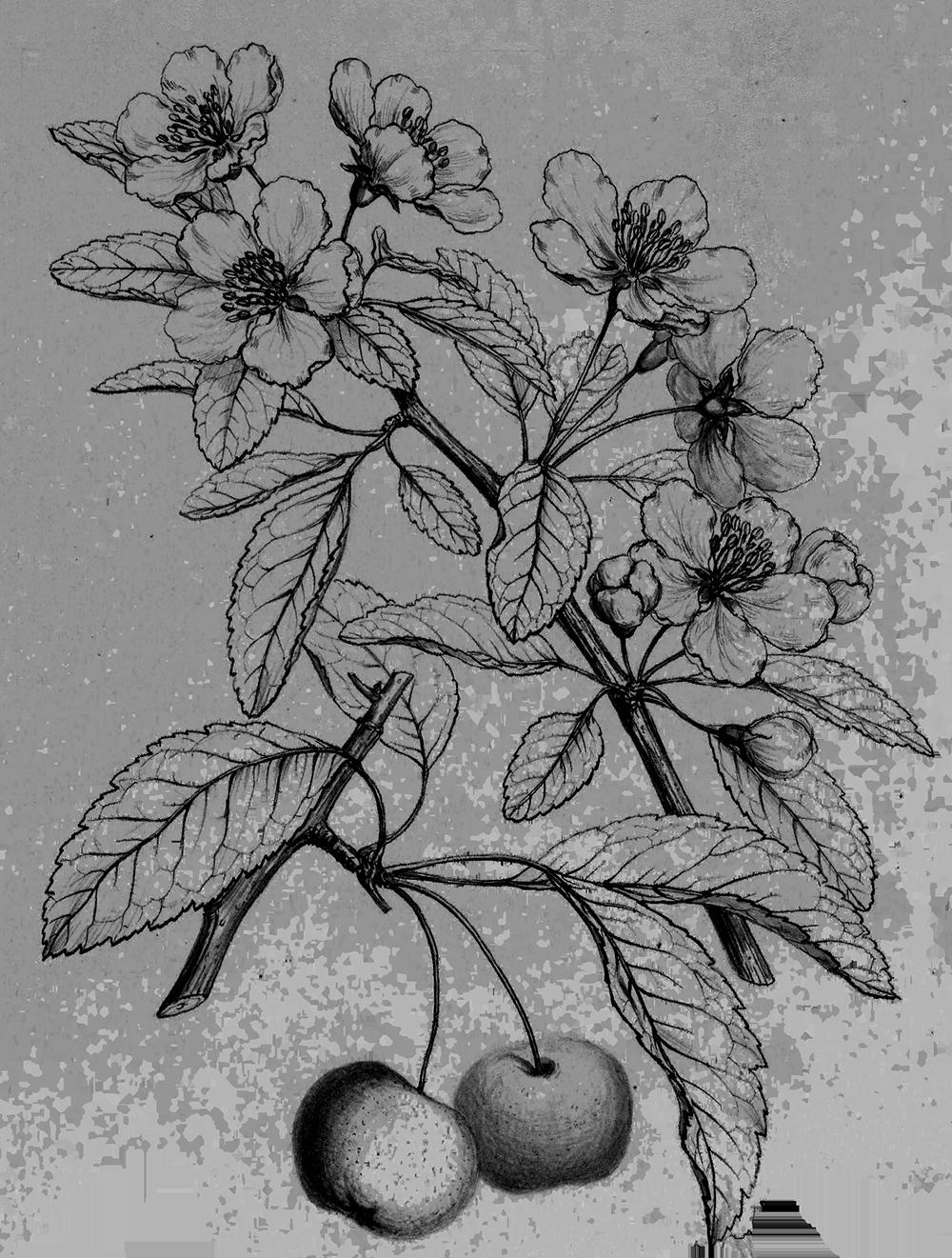 Crabapple illustration by Charles Faxon