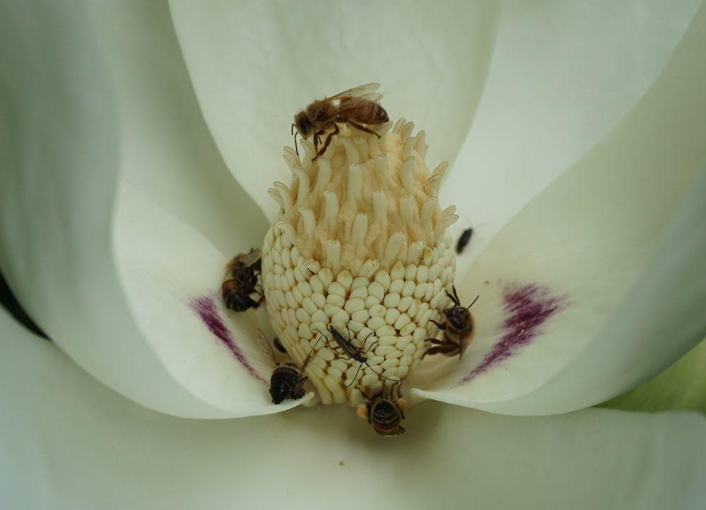 Bigleaf magnolia (Magnolia macrophylla)