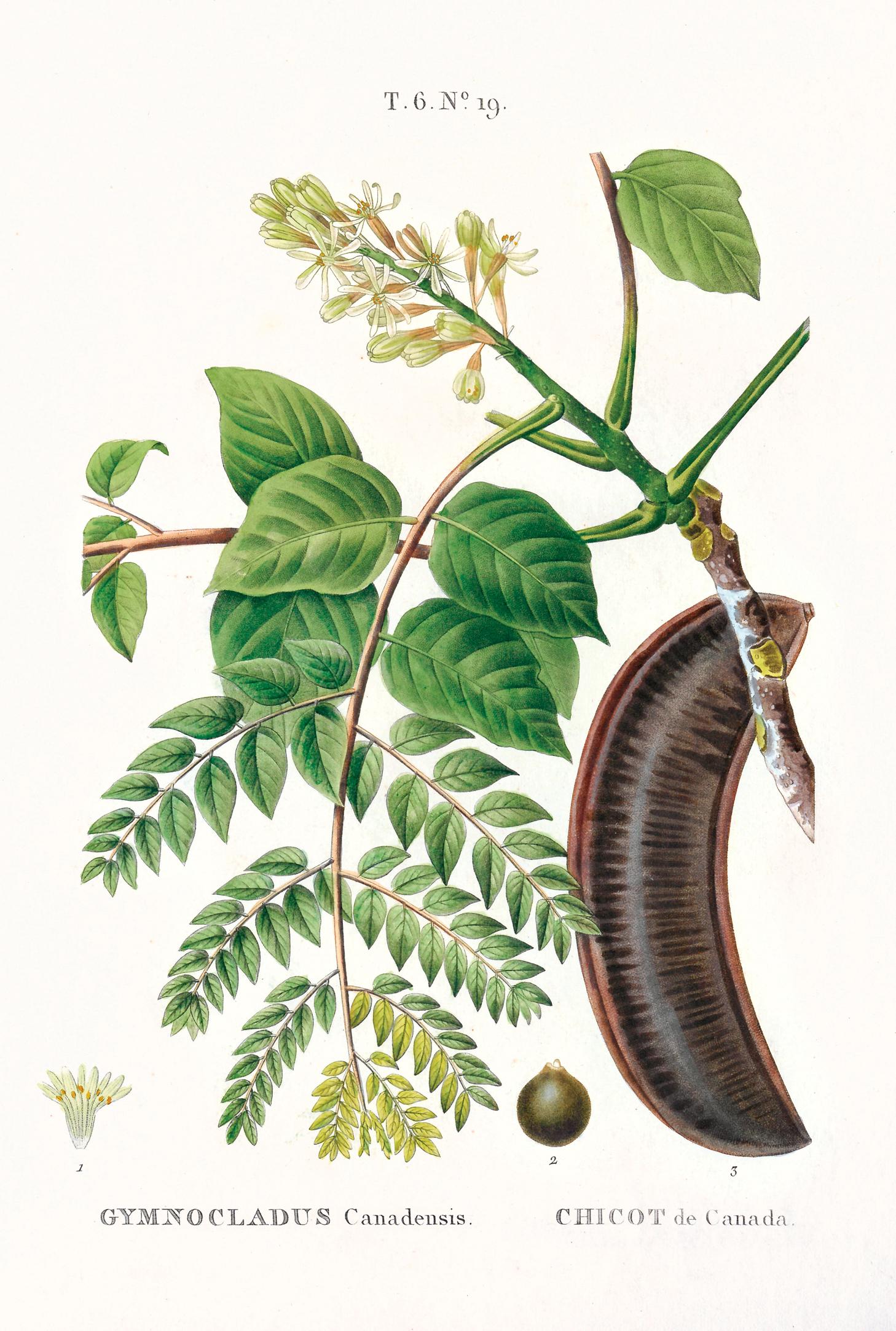 Illustration of Kentucky Coffeetree
